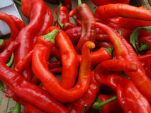 Chille pepper Hot Portugal, Capsicum annuum longum. Cultivar with sturdy erect plants producing elongated glossy bright red fruits Royalty Free Stock Images