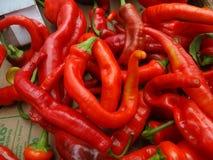 Chille-Pfeffer heißes Portugal, Annuum-longum des spanischen Pfeffers Lizenzfreies Stockbild