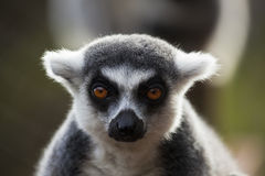 Chilled. Ringtailed lemur chilling out at wildlife park Royalty Free Stock Photography