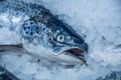 Chilled in ice red fish Stock Photography