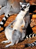 Chilled Lemur Royalty Free Stock Images