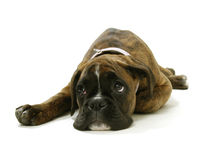 Chilled out Boxer. Chilled out & doey eyed Boxer dog laying down and looking up portrait shoot Stock Image