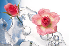 Chilled Rose In The Ice Stock Photo