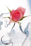 Chilled Rose In The Ice Stock Photography