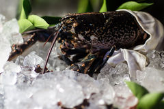 Chilled shellfish on ice. Photo closeup frozen fresh shellfish crustacean crab sea fish seafood preserved on ice for sale at market on blurred chilly background Royalty Free Stock Image