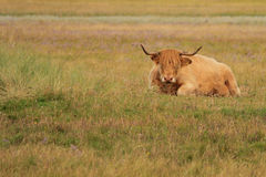 Chiller. Resting cattle on a meadow on Fanoe island, Denmark Royalty Free Stock Images