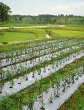 Chilli Farm Stock Photo
