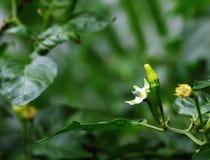 Chilli flower Royalty Free Stock Photos