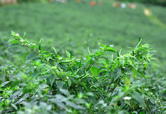Chilli Garden Royalty Free Stock Photography