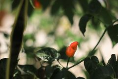 Chilli in the garden stock photography