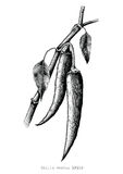 Chilli hand drawing engraving illustration black and white clipa. Rt Royalty Free Stock Photography