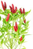 Chilli Look at the Sky Stock Photography