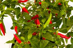 Chilli pepper bush Stock Photos