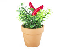Chilli pepper plant Royalty Free Stock Photo