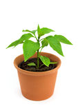 Chilli pepper plant stock photo