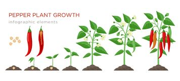 Chilli pepper plant growth stages infographic elements in flat design. Planting process of chili from seeds sprout to. Ripe vegetable, plant life cycle isolated stock illustration