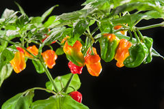 Chilli pepper plant Royalty Free Stock Images