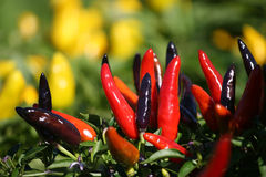 Chilli pepper Royalty Free Stock Photo