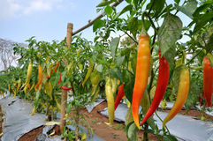 Chilli plant Royalty Free Stock Images