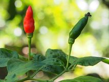 Chilli plant. Chilli red and green plant in tropical country zone royalty free stock photo