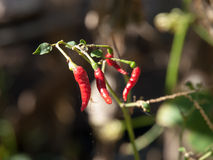 Chilli plants Stock Photo