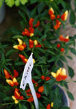 Chilli plants. And a sign royalty free stock images