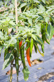 Chilli Plants at Mount Batur, Bali, Indonesia. Image of the finest Indonesian chillies planted on rich volcanic soil at Mount Batur, Bali, Indonesia Stock Images