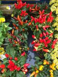 Chilli plants Royalty Free Stock Images