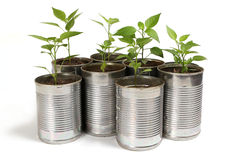 Chilli plants in tin pots Stock Image