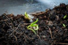 Chilli seedlings stock photo