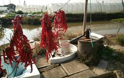 Chilli and water pump. Strings of red chilli are hung beside a manpower water pump as daily provisions of vegetable peasant in countryside, China Royalty Free Stock Images