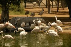 Chillian Flamingo (Phoenicopterus chilensis) Stock Photo