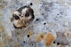 Chillido-buho cubano en agujero del árbol foto de archivo libre de regalías