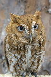 Chillido Owl Closeup Imagen de archivo libre de regalías
