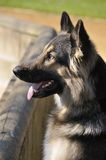 Chillie 1. Long Haired German Shepherd dog, black and tan, head and shoulders Stock Image