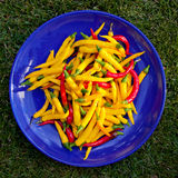 Chillies. A colorful harvest fresh chillies Royalty Free Stock Image