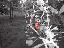 Chillies, korzenni, czerwień fotografia stock