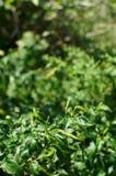 chillies zieleń Zdjęcie Royalty Free