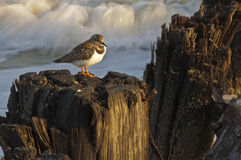 Chillin'. A bird sitting on some pilings at the beach out on Folly in Charleston, SC.  There is a wave crashing in the background and some old fishing line Stock Images