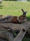 Chillin kangur zdjęcia stock