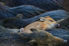 Sounder or family of sleeping wild boars and a cute piglet Stock Photos