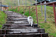 Chilling cat. Curious cat walking around Gimmelwald Royalty Free Stock Images