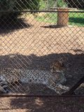 Chilling cheetah. A cheetah chilling in the shade escaping the suns Royalty Free Stock Photo