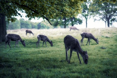 Chilling deers Royalty Free Stock Images