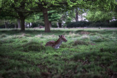 Chilling deers Royalty Free Stock Photography