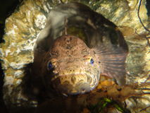 Chilling fish. Grumpy looking fish hiding in a rock Stock Images