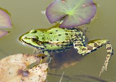 Chilling frog stock images