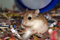 Chilling Hamster royalty free stock photo