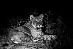 Chilling. High contrast black and white image of well fed lioness near Kruger South Stock Image