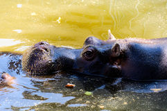 Chilling Hippo Royalty Free Stock Image